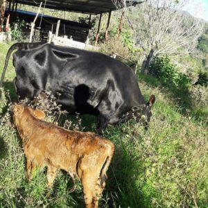 Costa Rica organic farm volunteering with cows