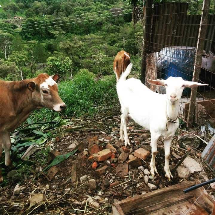 Finca Organica, Cielo Verde in Costa Rica volunteering with goats
