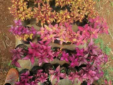 Vivero del Valle - Coleus flowers for sale
