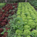Chirripo Valley produce & vegetable delivery